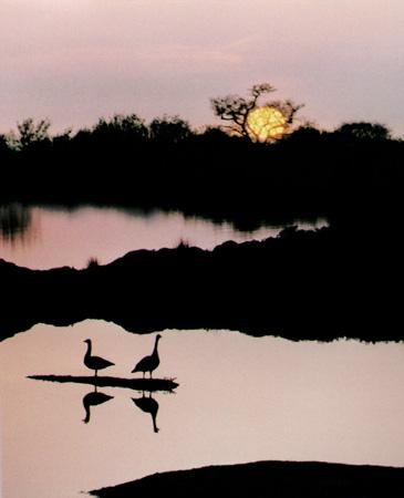 Geese at Dusk - Steve May