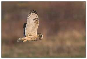 Short Eared Owl, Eric Garnett ARPS CPAGB, Natural History, Colour