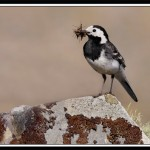 Pied Wagtail by Jay Conway