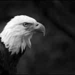 Commended is 'Bald Eagle'
