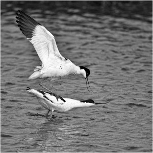 'Mating Avocets' by Paul Matthews (Best Mono Natural History Image)