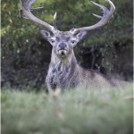 Stag at Tatton Park