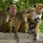 Temple Monkeys