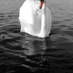 Mute swan on black water