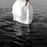 Mute swan on black water