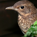 Portrait of a young blackbird