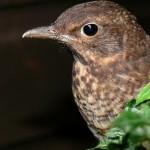 Portrait of a young blackbird