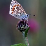 Common Blue, Eric Garnett ARPS CPAGB