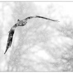 Red Kite in Snow by Eric Garnett ARPS CPAGB