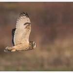 Short Eared Owl, Eric Garnett ARPS CPAGB
