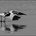 'Avocet' by Michael Lawson