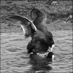 First Place goes to                    'Coots Mating'            by Paul Matthews