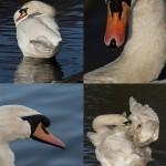 73 Swans