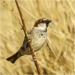 Highly Commended, 'House Sparrow' by Paul Matthews