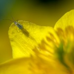 Highly Commended, 'Aphid on Marsh Marigold' by Tony Jones