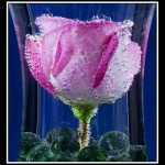 16 Rose Bubbles