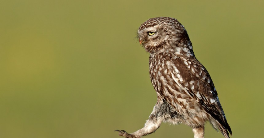 Austin Thomas - Little Owl Marching