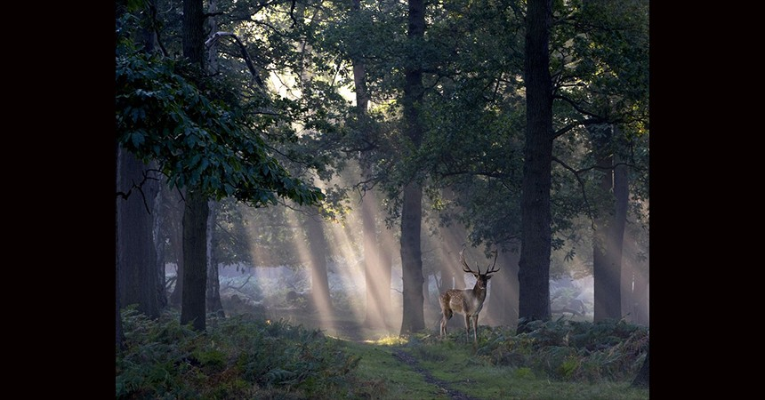 Deer at dawn