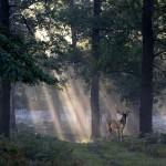 'Deer at Dawn'