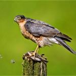 'Sparrow Hawk '