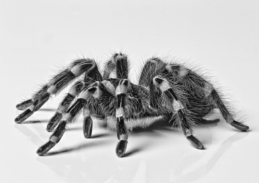 Brazillian White Knee Tarantula'