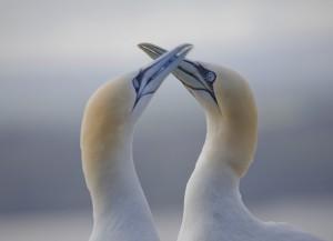 Gannets bAsss Rock