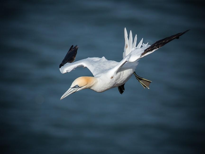 Gannet Diving