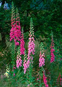 """Digitalis"" by Muriel Landy ARPS"