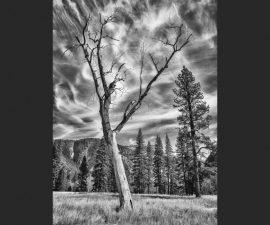 Tree, Yosemite Valley by Martin Reece