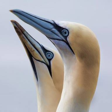 """Gannets""  by MIke Lawson"