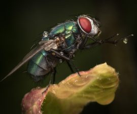 "First Place Digital Colour and Best Overall Image of the Competition  ""Blue Bottle Fly""  by Dave Harding CPAGB"