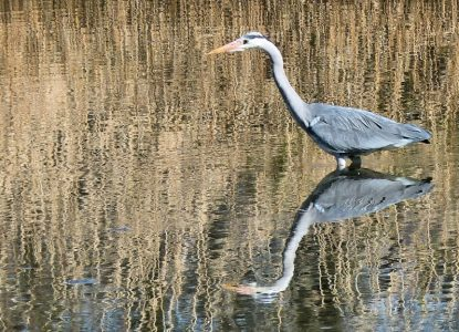 """Grey Heron in Reflective Mood"" by James Bennett"