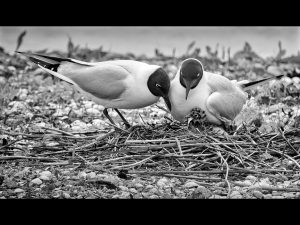 "First Place Digital Mono ""Black Headed Gulls with Chicks Feeding"" by Paul Matthews"