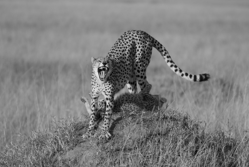 "First Place Mono Print - ""Cheetah Mum"" by Sarah Bevan"