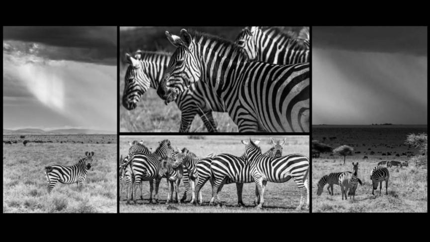 Serengetti Zebras by Derek Gould