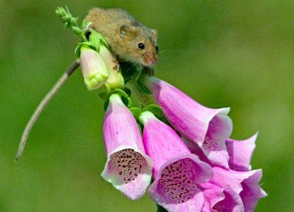 """""""Harvest Mouse"""" by Bert Whittlestone"""