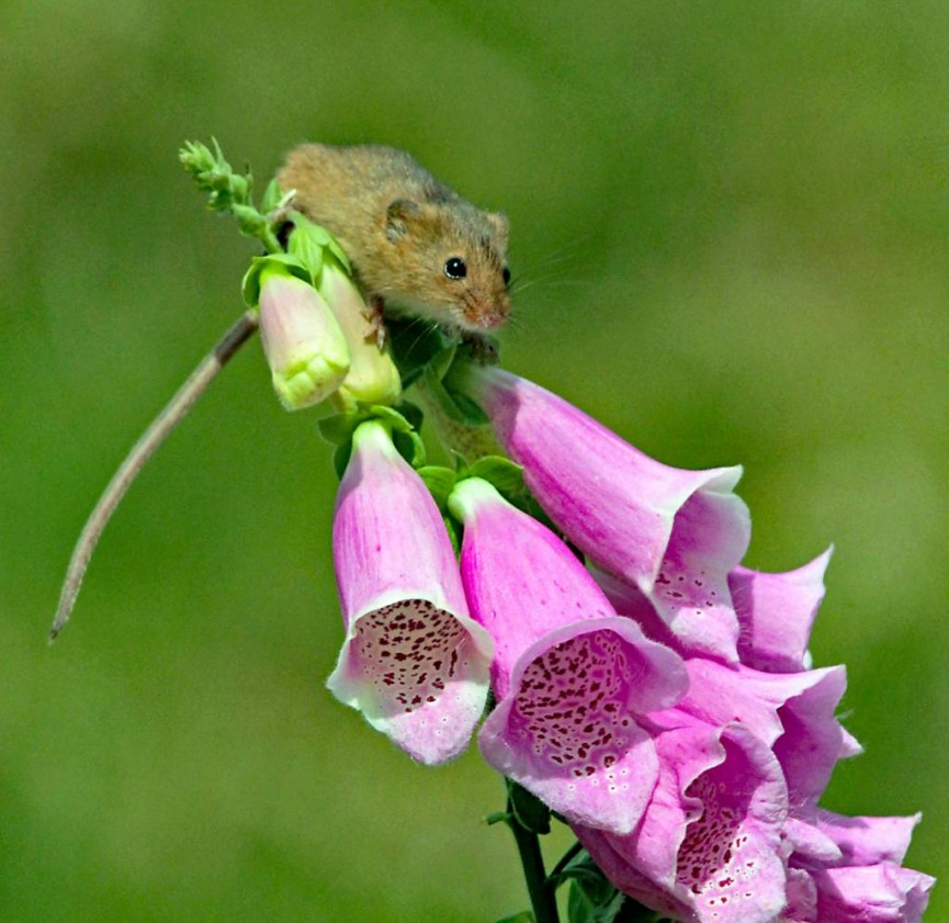 """Harvest Mouse"" by Bert Whittlestone"