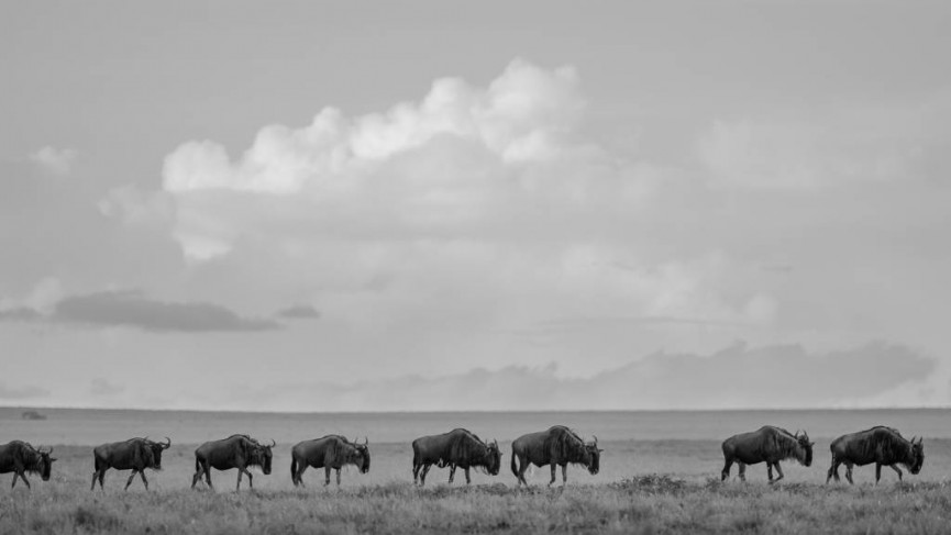 "Joint First Place Mono Print - ""Wildebeest Migration' by Derek Gould"