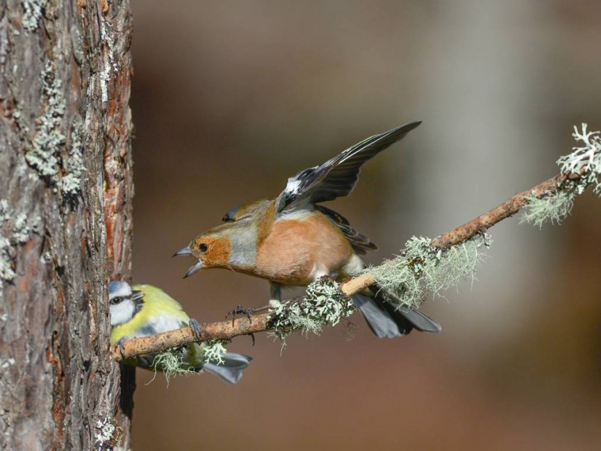 "Scoring 20 - Colour Print - ""Chaffinch Aggression"" by Vic Pigula"