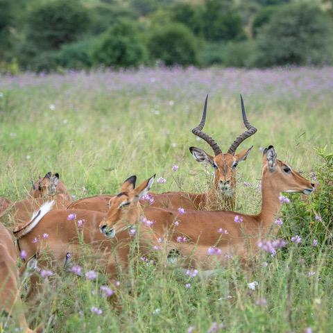Impala_Serengeti