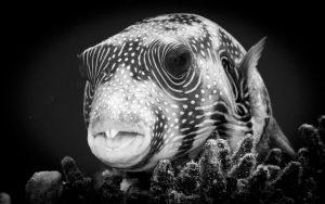 Puffer Fish, Safaga_Derek Gould