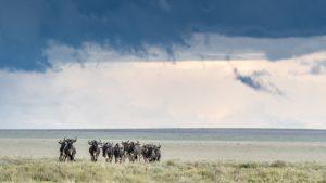 Wildebeest_Derek Gould