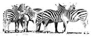 Zebras_Tanzania