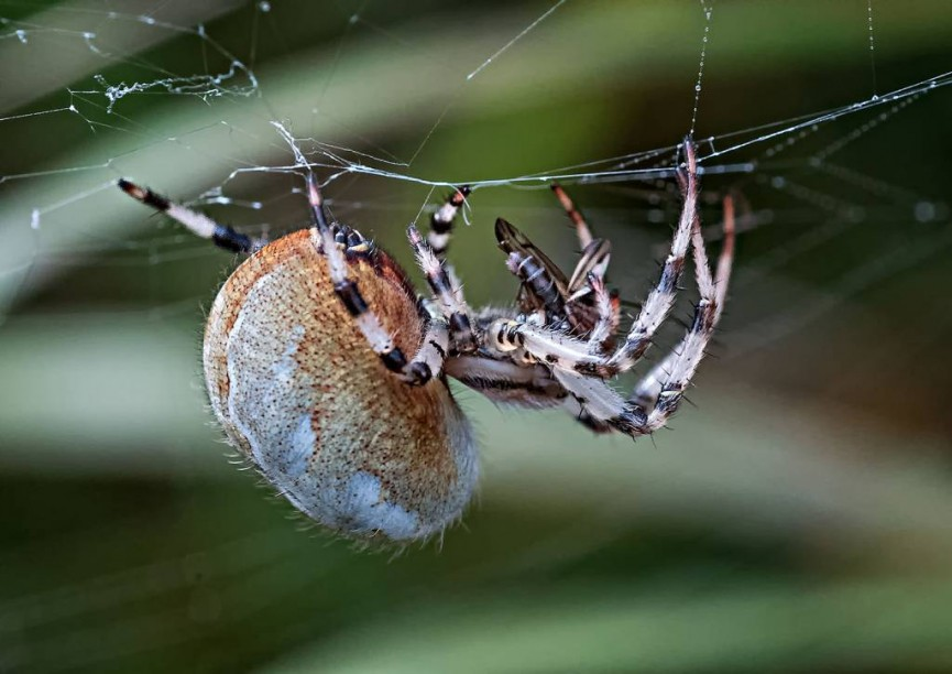 Orb weaver spider by TL Kay