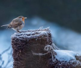 This little robin has been visiting us today, good to be able to get a photo or two without having to go out in the cold.