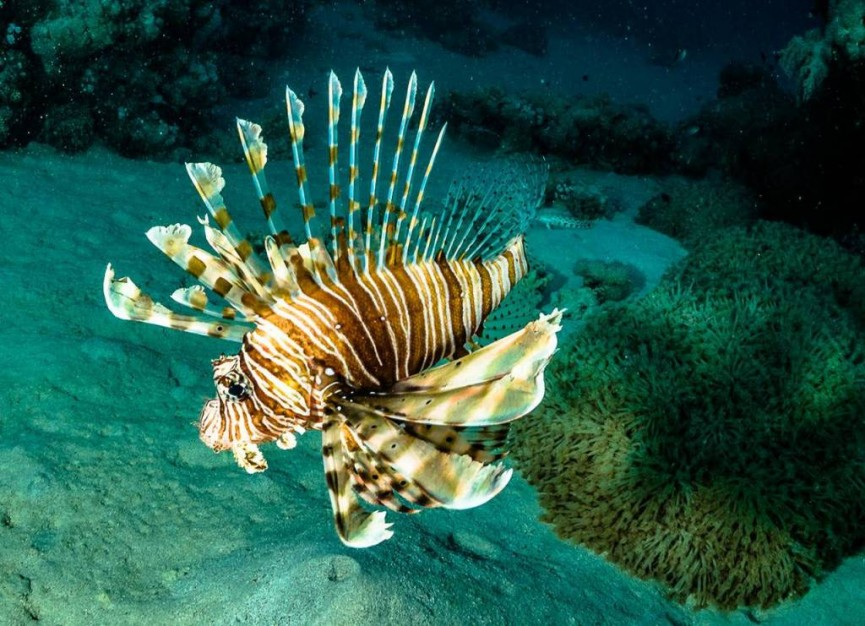 A lionfish showing its poisonous barbs by Derek Gould