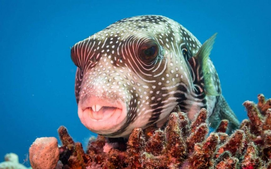 A puffer fish lying on a coral head  This fish has enough toxin to kill 30 men in one go but you have to eat it for that to happen. If threatened it can swell up to form a large ball that is very hard to eat, as if you'd want to!  by Derek Gould