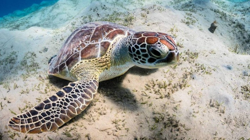 This is a Hawkesbill turtle, grazing on the grasses in the sand here. It also crunches the corals but likes soft corals the best.  Photo by Derek Gould
