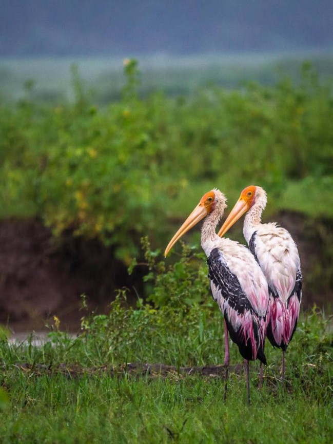 Two pelicans in the national Park in Sri Lanka by Derek Gould