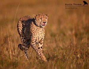 Cheetah by Austin Thomas